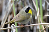 Common Yellowthroat pb.jpg