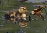 Mallard duckling pb.jpg
