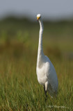 Great Egret 3 pb.jpg