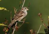 House Sparrow pb.jpg