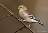Goldfinch pb.jpg