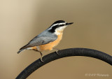 Red-Breasted Nuthatch pb.jpg