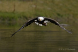 Eagle with catch pb.jpg