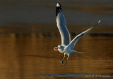 Ring Billed Gull pb.jpg