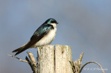 Tree Swallow 4 pb.jpg