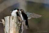 Tree Swallows pb.jpg