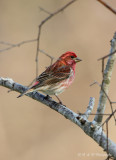 Purple Finch pb.jpg