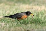 American Robin pb.jpg