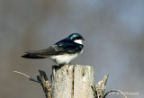 Tree Swallow pb.jpg