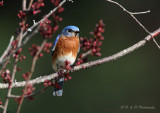 Male Eastern Bluebird pb.jpg