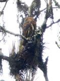 Yungas Pygmy Owl,  Coroico Road