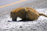 Crouching baboon