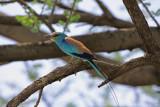 Abyssinian Roller
