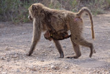 Female Olive Baboon with infant