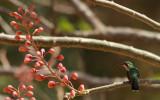 Humming Birds In Nicaragua