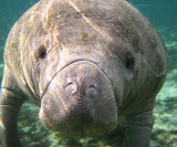 Nov '07 - Swimming with Manatees