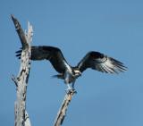 Osprey's of the Mannasquan Reservoir