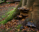 Bracket Fungi on Beech