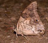 Shoemaker Butterfly (or Feathered Prepona)