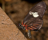 Doris Longwing (or Doris Butterfly or Rayed Longwing)