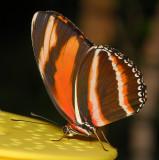 Orange Tiger (aka Banded Orange or Banded Orange Heliconian)