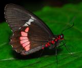 Pink Cattleheart or Transandean Cattleheart