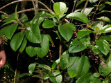 Phyllostegia Warshaueri