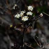 Dubautia Scabra Flowers