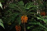Cyanea Shipmanii Fruit!