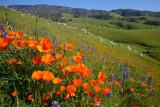 Poppies near Arvin