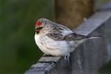 Shetland's Birds
