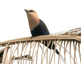 Blue Bellied Roller  Gambia
