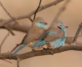 Red-cheeked Cordon-bleu  Gambia