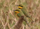 Little Bee-eater   Gambia
