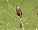 Yellow-billed Shrike  Gambia