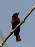 Chestnut-breasted Sunbird