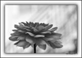 Dahlia - Strong As An Oak