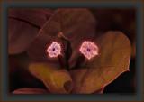Bougainvillea Night-Fire