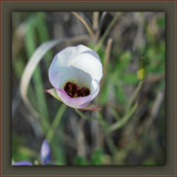 Catalina Mariposa Lily - One Of The Prettiest Wildflowers In The Santa Monica Moutains