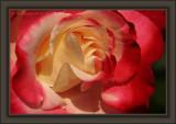 Rose Radient Waves
