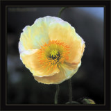 Poppy In Late Evening