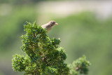 Chipping Sparrow ?