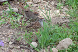 Chipping Sparrow and ?