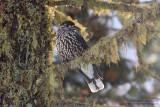 Cassenoix moucheté - Spotted Nutcracker