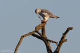 Elanion blanc - Black-shouldered Kite