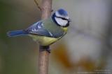 Mésange bleue - Blue Tit