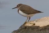 Chevalier guignette - Common Sandpiper