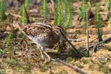 Bécassine des marais -  Common Snipe