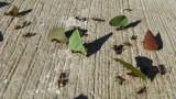 leaf cutter ants, Tikal (p: eclectica)
