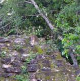 fox on ruins, Tikal